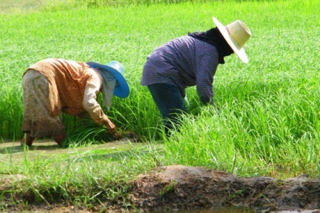 เยียวยาเกษตรกร สวนยาง อ้อยน้ำตาล