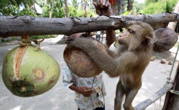 ลิงเก็บมะพร้าว