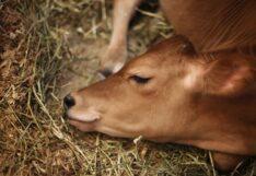 วัว ลัมปีสกิน